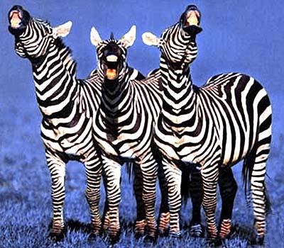 zebras photo